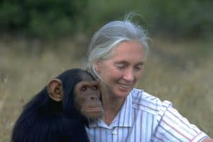 Dr. Jane Goodall, DBE, with orphan chimpanzee at Tchimpounga Sanctuary. Dr. Goodall does not handle wild chimpanzees.